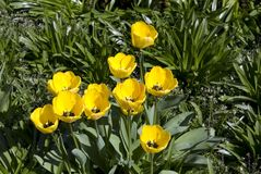 Yellow tulipans Stock Images