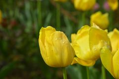 The yellow tulips(2). The morning dew and the yellow tulips form a beautiful picture, which creates endless delusions stock photos
