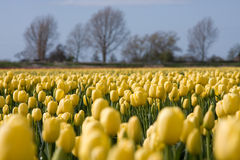Yellow tulips. A spring field with yellow tulips somewhere in the Netherlands Royalty Free Stock Photo