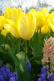 Yellow tulips. Closeup of yellow tulip flowers Stock Images