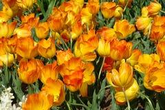 Yellow tulips. Keukenhof gardens, the Netherlands Royalty Free Stock Photos