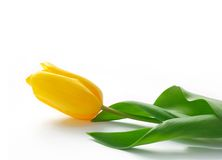 Yellow tulips. One yellow tulip on a white background stock photography