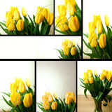 Yellow tulips. Collage of yellow tulips compositions royalty free stock image