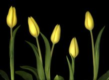 Yellow tulips. On a black background Stock Photos