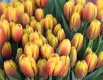 Beautiful yellow tulips with red hue. Bouquet of flowers, pattern stock photo