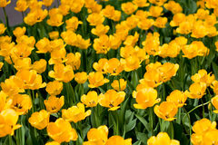 Yellow tulips. Field in the city park Royalty Free Stock Images