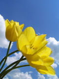 Yellow tulips. Bouquet of yellow tulips on a background of the sky Stock Photography