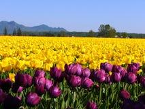 Yellow tulips. Yellow , purple tulips stock photos