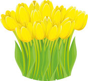 Yellow tulips. Stock Image