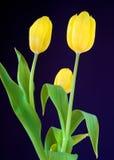 Yellow tulips. Three yellow tulips isolated on navy-blue  - horizontal Royalty Free Stock Photos