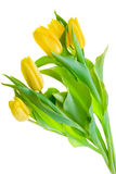 Yellow Tulips. Isolated On White Stock Photography