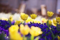 Yellow Tulips. Field of yellow tulips with purple irises; springtime flowers Stock Photography
