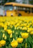 Yellow tulips. Yellow tulip field in Skagit Valley Stock Photography