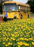 Yellow tulips. Yellow tulip field in Skagit Valley Stock Photos