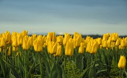 Yellow Tulips Stock Image