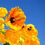 Yellow tulips. In front of a very blue sky in springtime Royalty Free Stock Photography