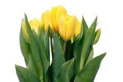 Yellow Tulips Royalty Free Stock Photo