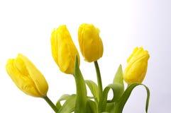 Yellow tulips. On white background Royalty Free Stock Image