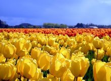Yellow Tulips. A field of yellow and red tulips Royalty Free Stock Image