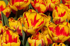 Yellow Tulips. A field of yellow tulips some blends of orange colour taken in a flower show Stock Photography