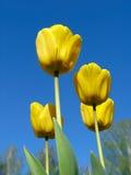 Yellow Tulips. On blue-sky background Stock Photo