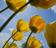 Yellow Tulips Royalty Free Stock Photo