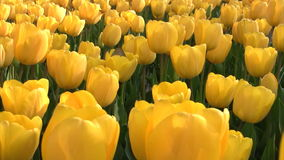 Yellow tulips. Camcorder moves slowly along the flower beds with bright yellow tulips. Close-up stock video footage