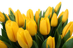 Free Yellow Tulips Stock Image - 3824381