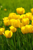 Yellow tulips. Beautiful spring tulips in a sunny day Stock Photos