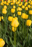 Yellow tulips. Spring field of yellow tulips stock images