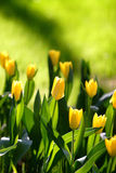 Yellow Tulips. Garden full of yellow tulips Stock Image