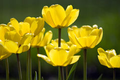 Yellow Tulips. Profile view of a group of yellow tulips Stock Images