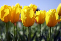 Yellow tulips. In the field, sprintime Royalty Free Stock Images