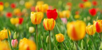 Yellow Tulips. With some red tulips Stock Photo