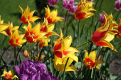 Yellow tulips. Field of yellow and purple tulips Royalty Free Stock Images