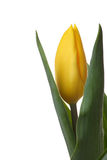 Yellow tulips. Yellow tulips and green leaves on a white background Stock Images