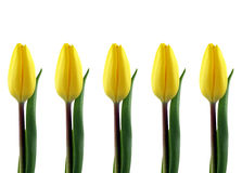 Yellow tulips. A row of yellow tulips isolated on white Stock Images