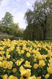 Yellow tulips. And park, Copenhagen royalty free stock images