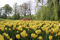 Yellow tulips. And park stock photo