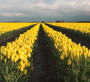 Yellow tulips. Dutch tulip fields, millions of yellow tulips Stock Images