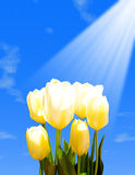 Yellow tulips against the blue sky Royalty Free Stock Image