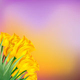 Yellow tulips against the bright background Stock Photos