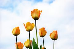 Yellow tulips against cloudy sky Stock Images