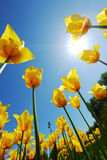 Yellow tulips against the sky Royalty Free Stock Photo