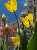 Yellow Tulips back-lit beside Church. Tulips (Tulipa gesneriana) by stone church; looking skyward with back-lighting... pink flowering dogwood in background Stock Photography