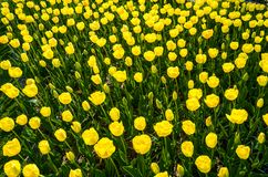 Yellow tulips background Royalty Free Stock Photography
