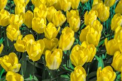 Yellow tulips background Royalty Free Stock Images