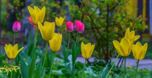 Yellow tulips background Stock Photos