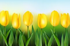 Yellow tulips on background blue sky Stock Photo