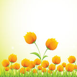 Yellow Tulips Background. Nice Yellow Tulips for your wallpaper, background, feel its nature Royalty Free Stock Image